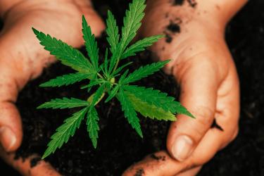 La culture du chanvre : une plante pour un textile sain et durable