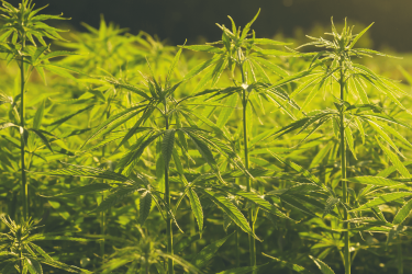 Fabriquer des sacs avec du cannabis : Quelle idée ?!